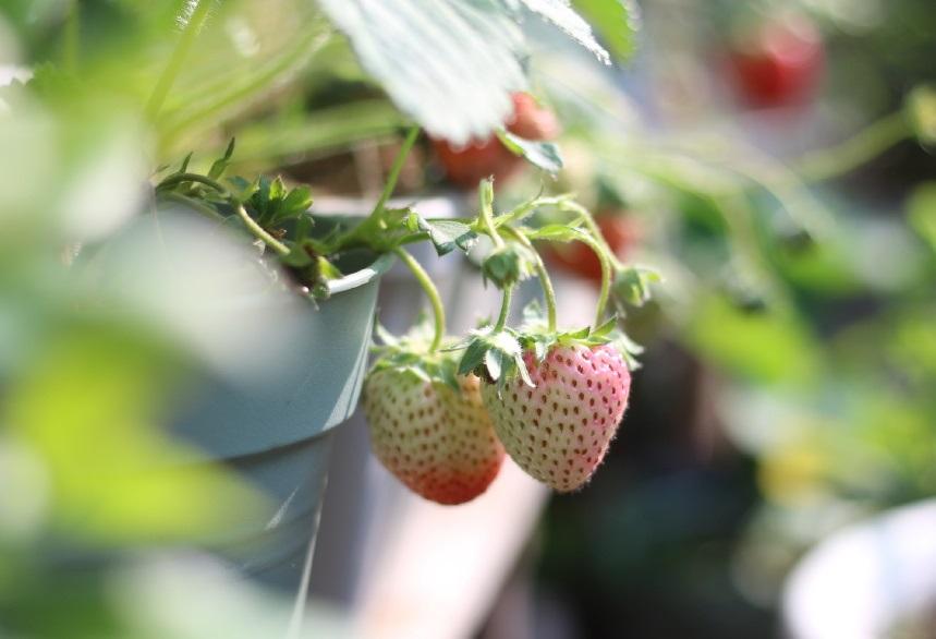 家庭盆栽草莓怎么养?