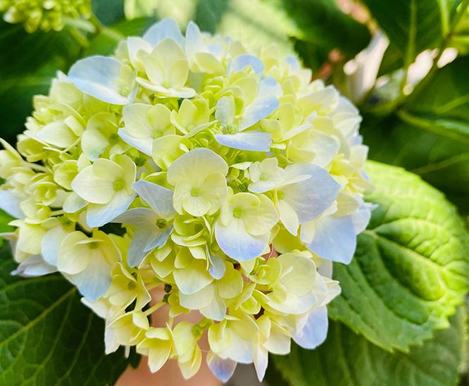 不同颜色绣球花的花语