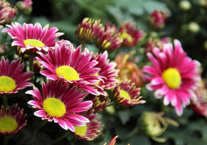 雏菊的花语和寓意是什么?