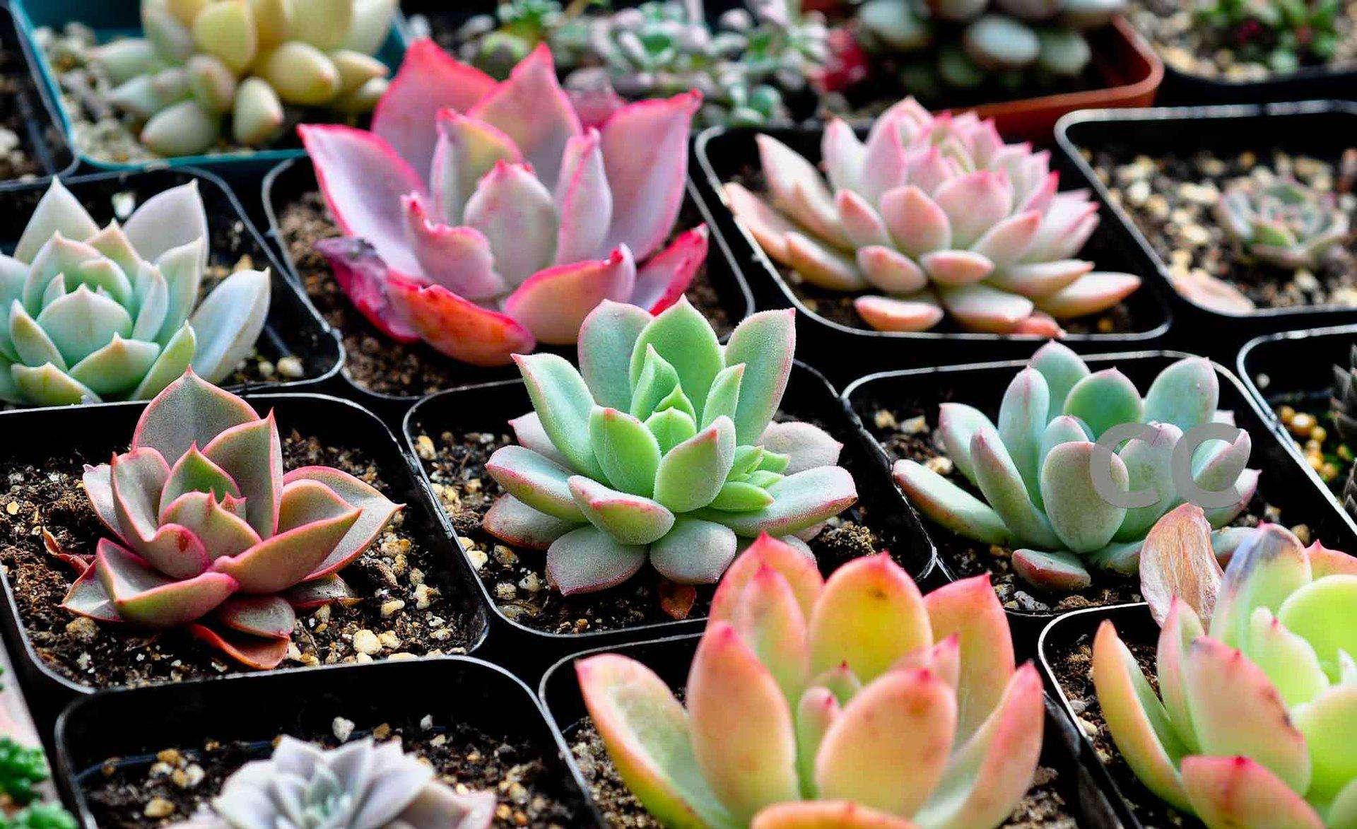 多肉植物怎么施肥?