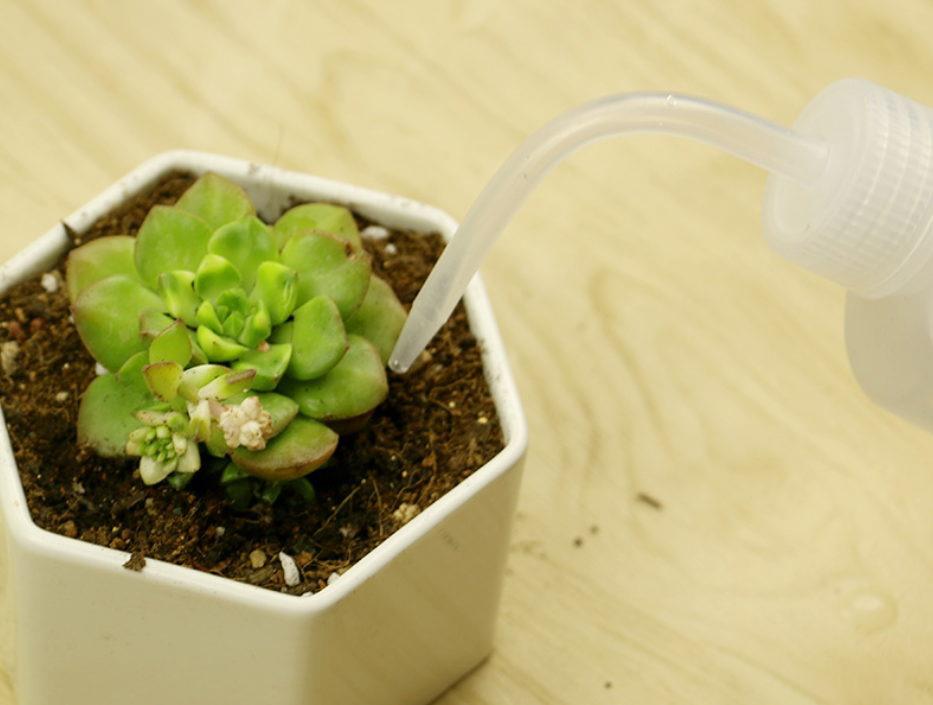 多肉植物的浇水时间和方法