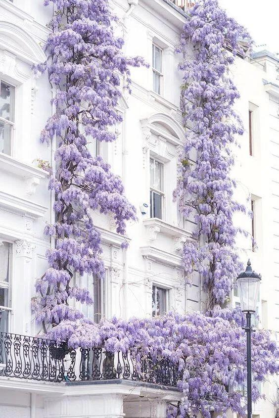 适合做花墙的13种爬藤植物推荐
