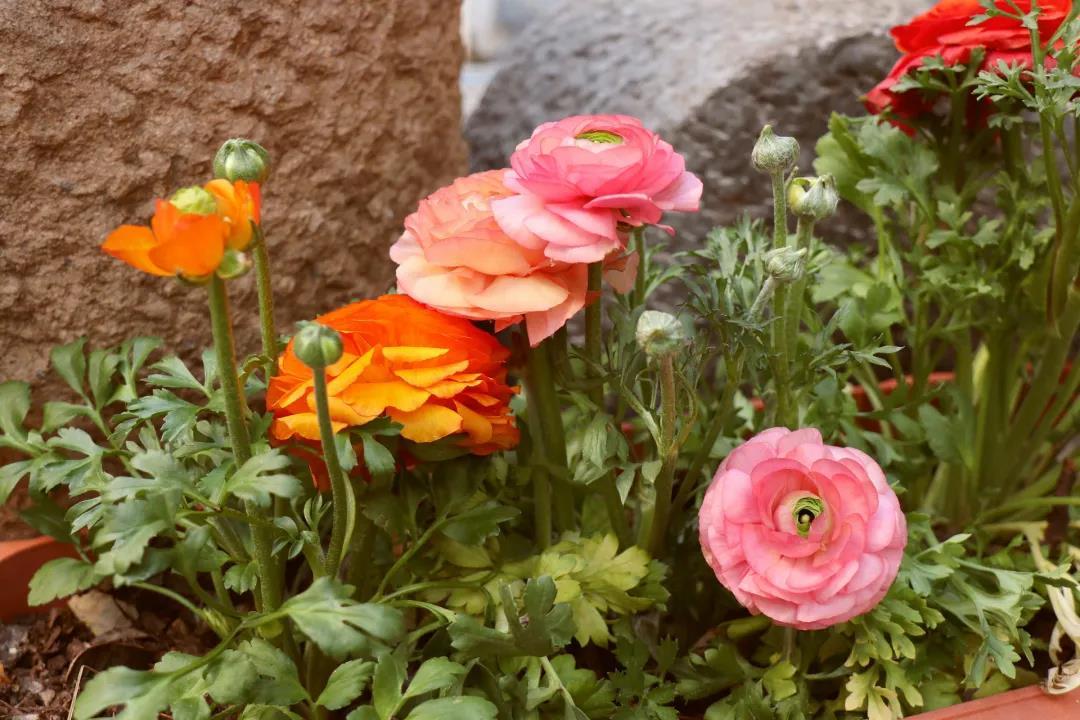 花毛茛的生长特点,花毛茛栽培注意事项