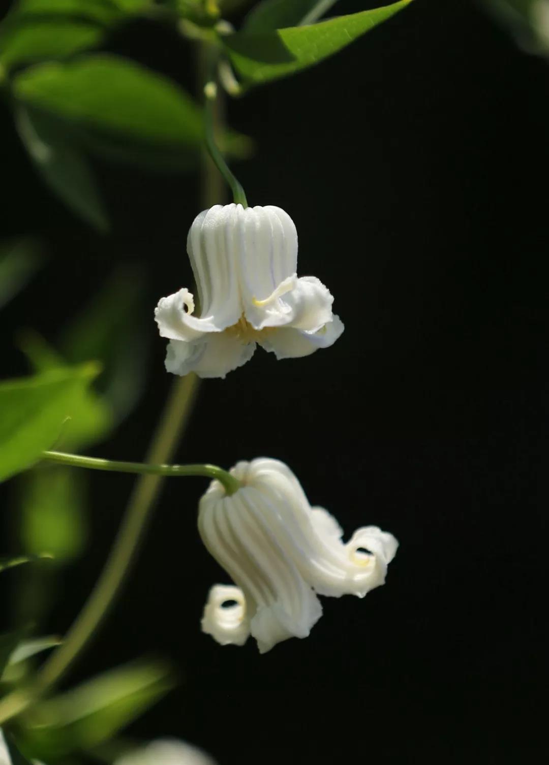 铁线莲——白流萤