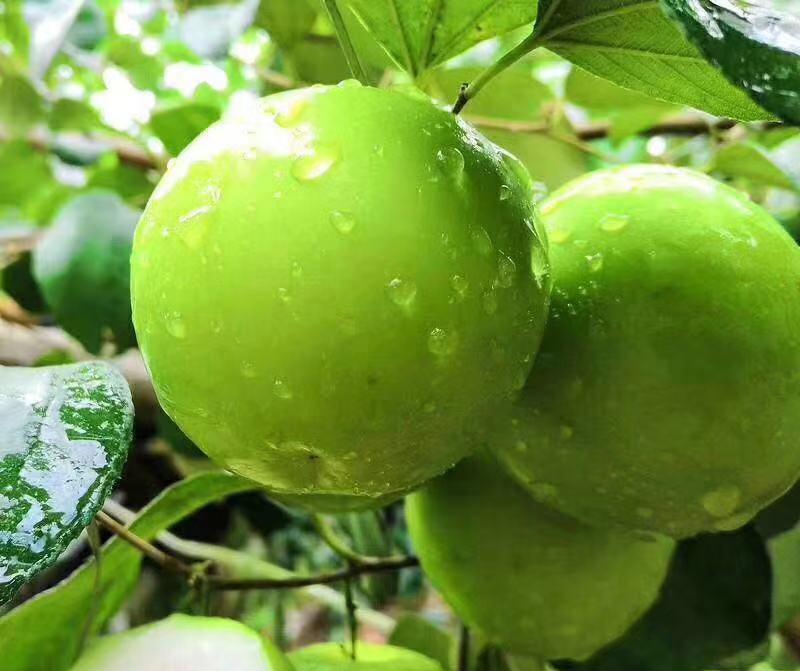 青枣的种植方法和注意事项