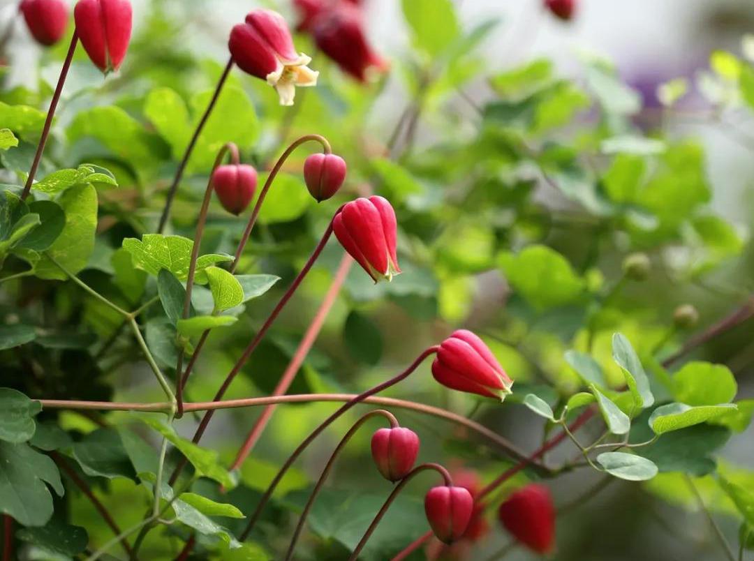 铁线莲——樱桃唇