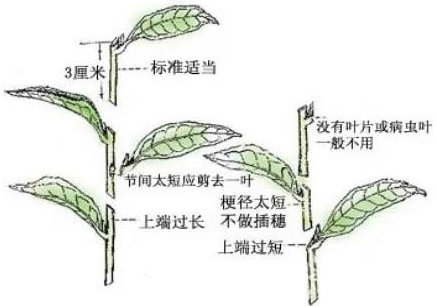 花卉植物扦插的方法