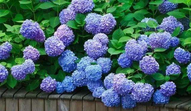 如何让无尽夏直立开花?