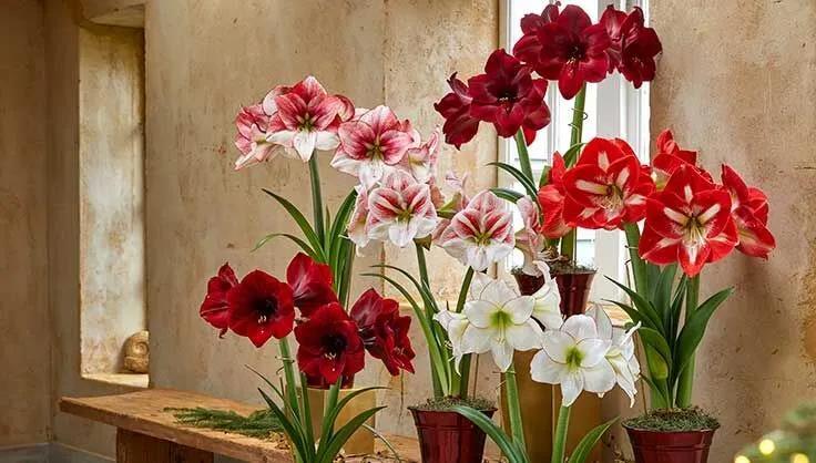 适合新手养的8种球根花卉