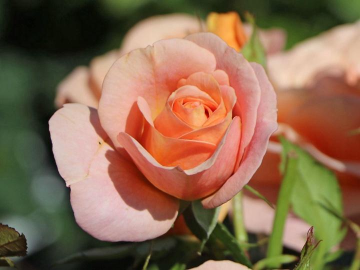 月季花——果汁花园(Bengali)