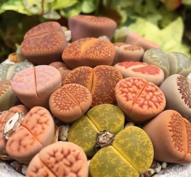 夏季怎么养好生石花?