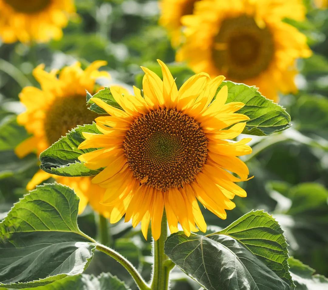 盆栽向日葵的种植方法