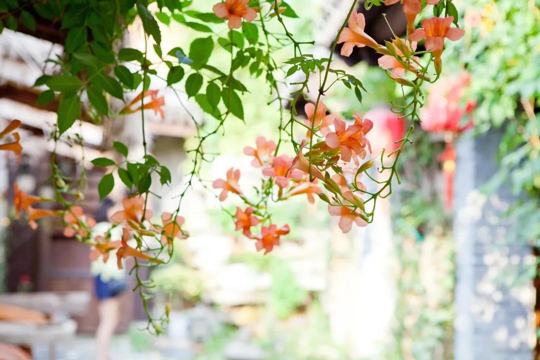 凌霄花的种植方法