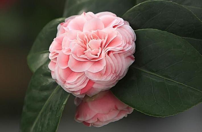 山茶花什么时候开花?花期有多长?一年开几次花?