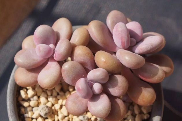 多肉植物桃蛋怎么养?