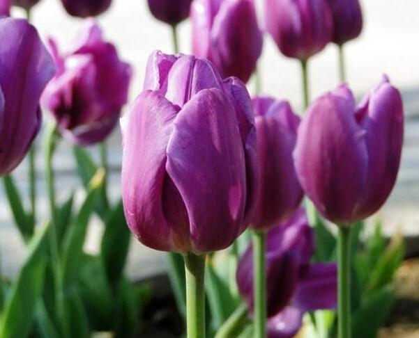 紫色郁金香的花语