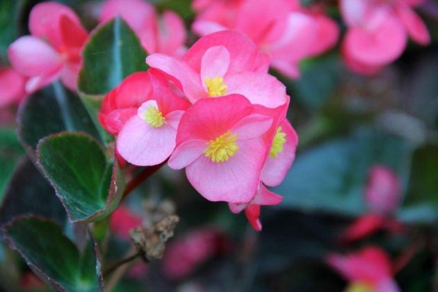 四季秋海棠的养殖方法和注意事项