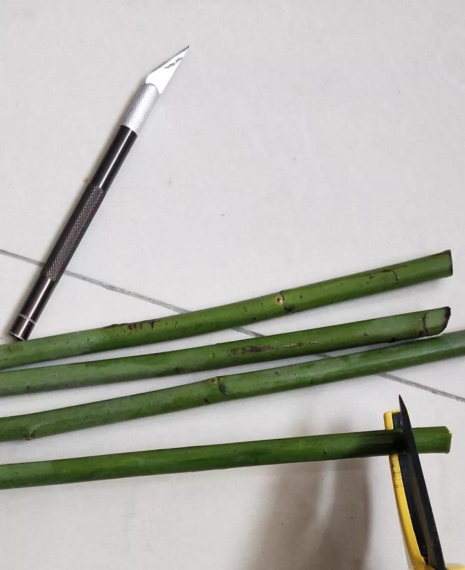 蔷薇杆嫁接砧木的扦插方法