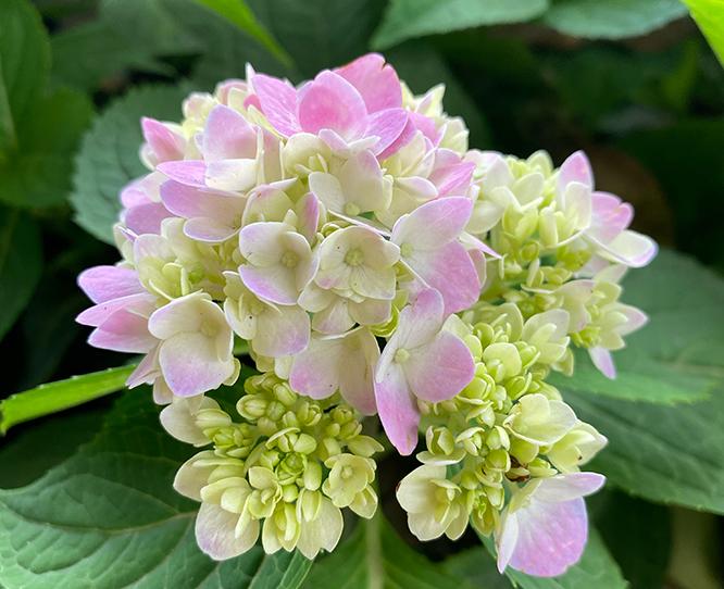 不同颜色绣球花代表的花语含义
