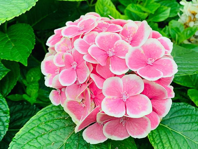 不同颜色的绣球花语,绣球适合送给哪些人?