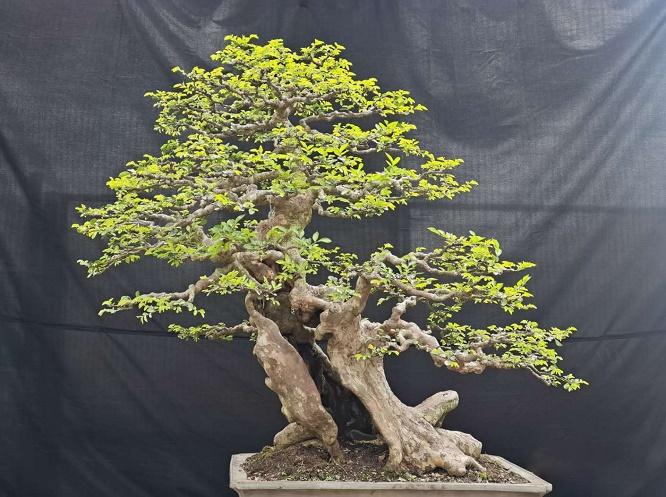 树桩盆景的养护方法