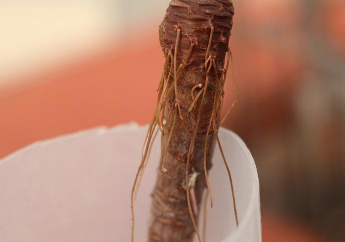 多肉植物夏天为什么会长气生根?