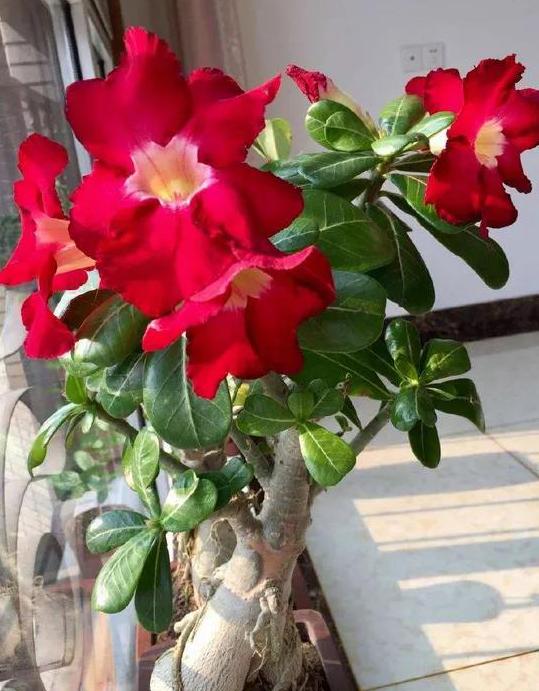 沙漠玫瑰砍头后怎么养护?