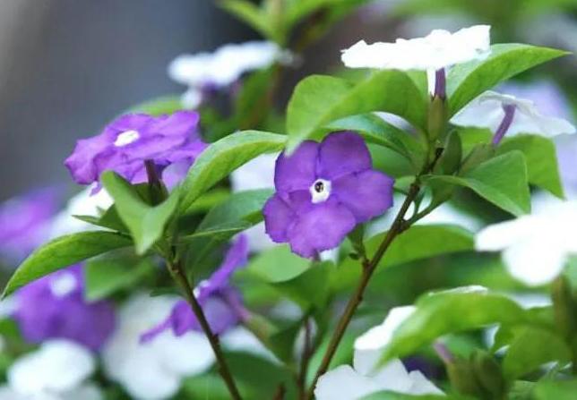 双色茉莉只长叶不开花怎么办?
