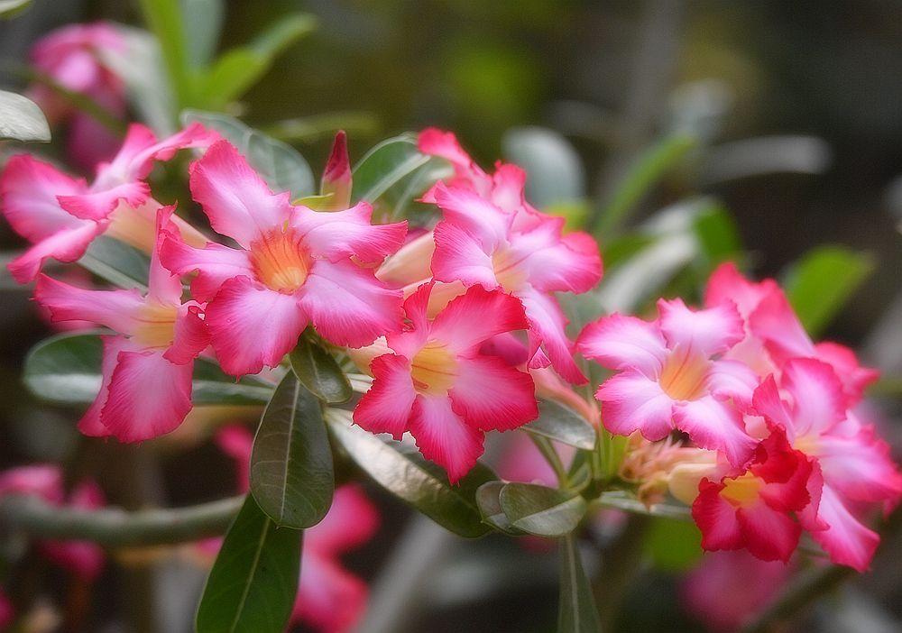 沙漠玫瑰只长叶子不开花是什么原因?