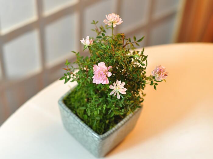 日本姬月季怎么养