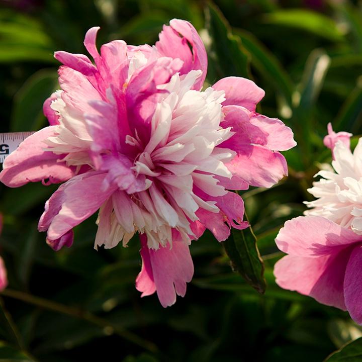 芍药块根种植几年可以开花?