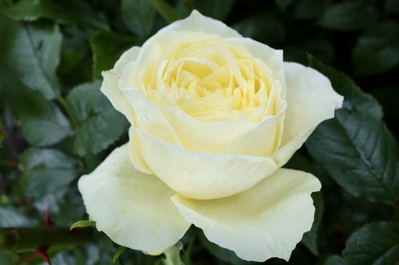 月季花——柠檬娜(Limona)