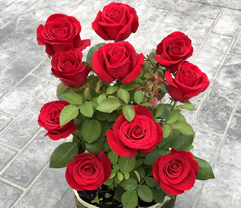 卡罗拉和红玫瑰的区别