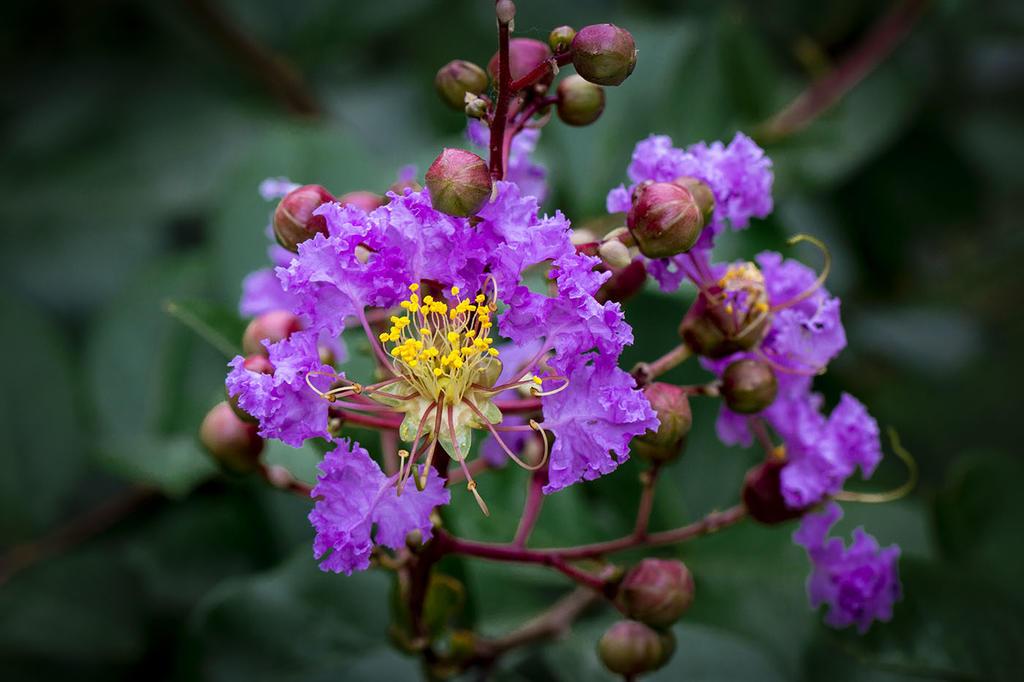 紫薇花开花很小怎么办?