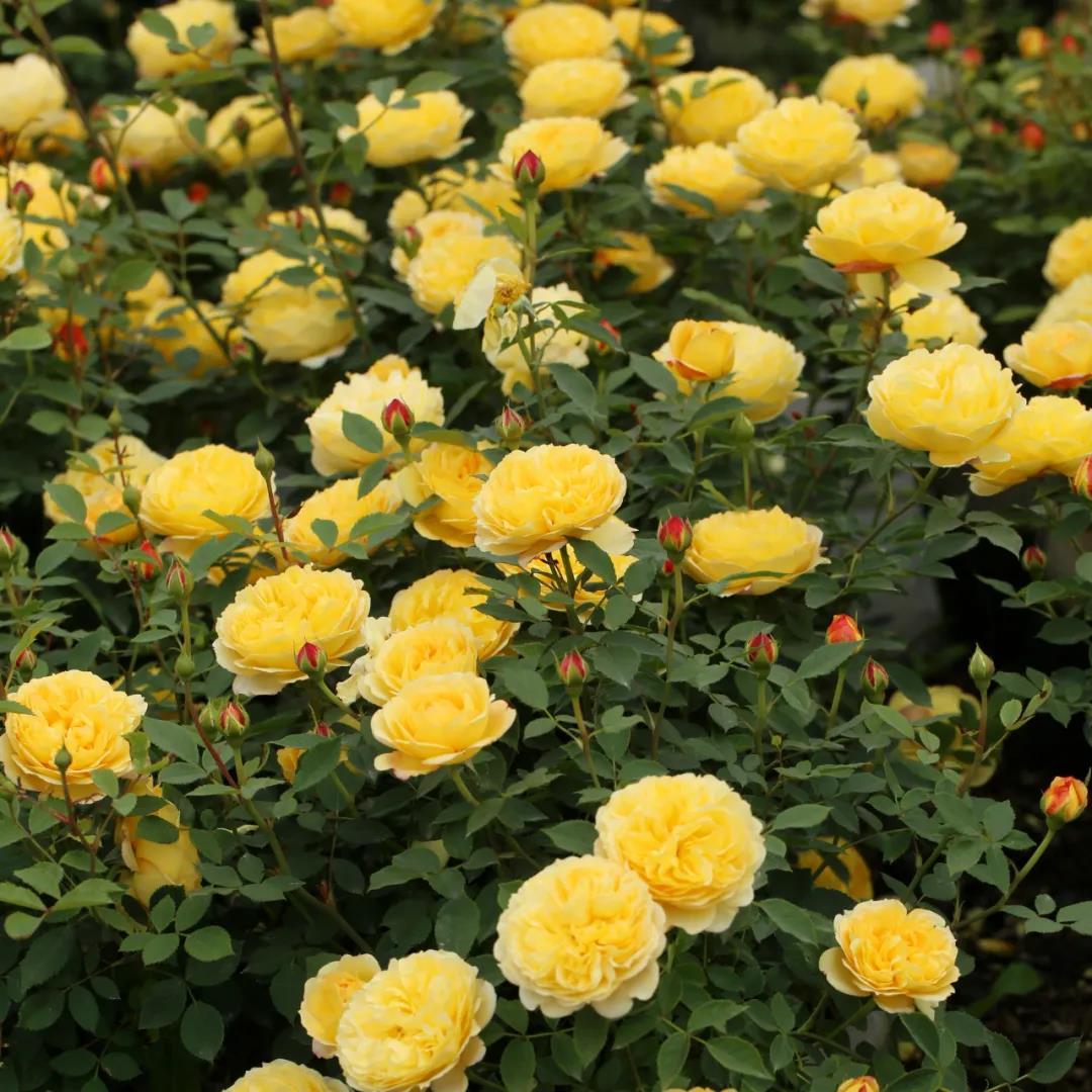 秋后月季管理,做好这些秋花才会更加爆!