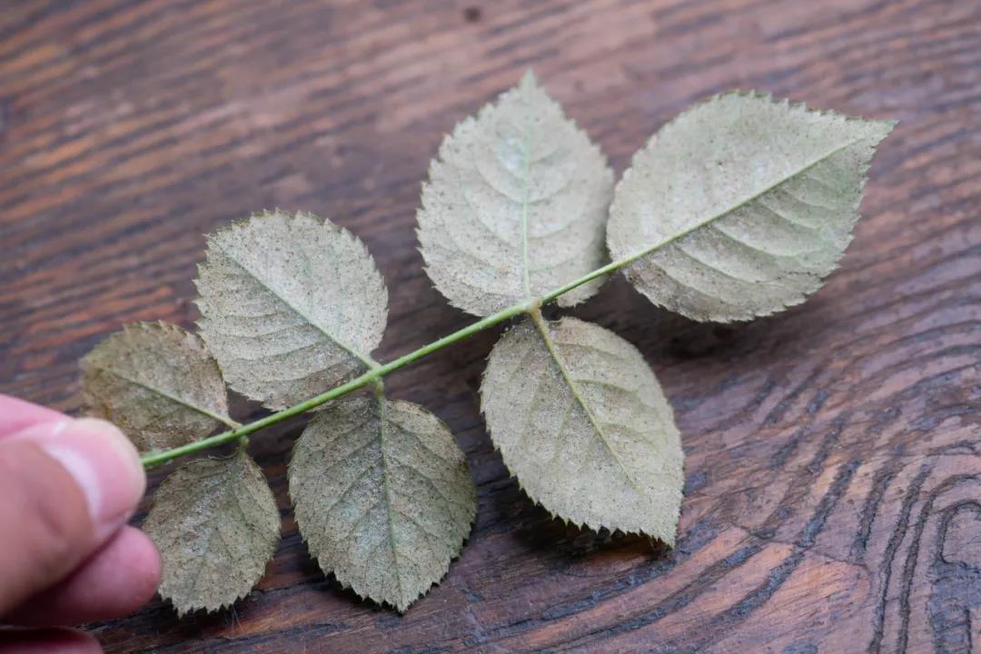 月季秋季日常如何养护?如何预防病虫害?