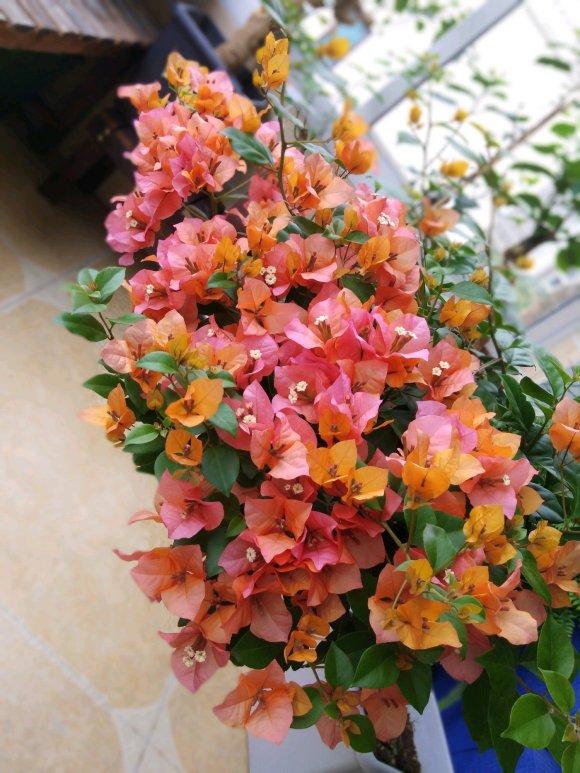 三角梅最勤花的品种有哪些?
