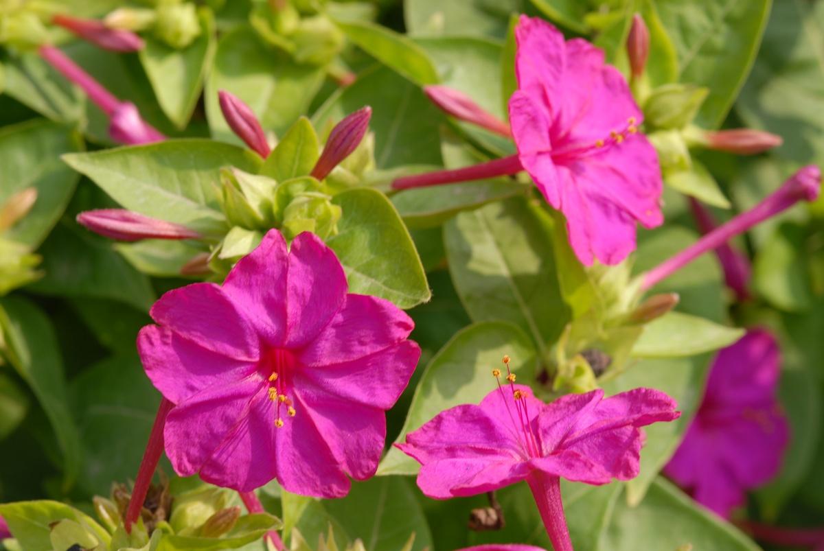 紫茉莉的养殖方法和注意事项