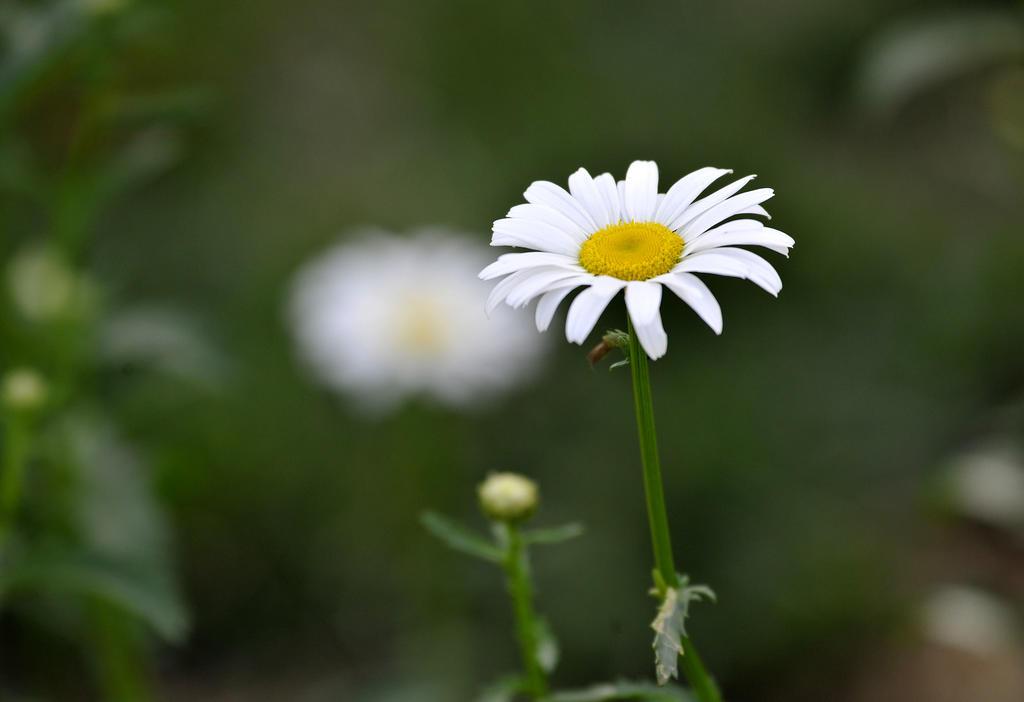 雏菊的图片