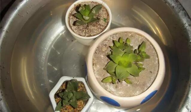 多肉植物上盆后如何浇水?