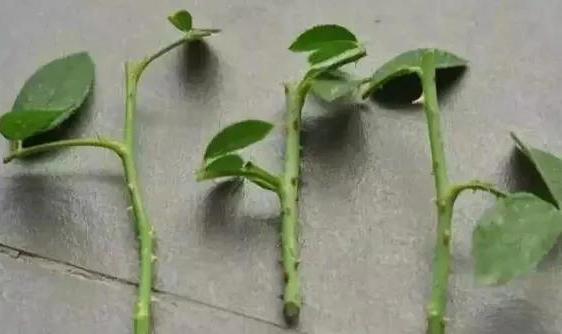 月季花扦插繁殖方法