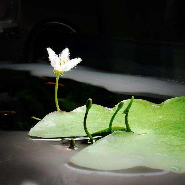 一叶莲的养护要点