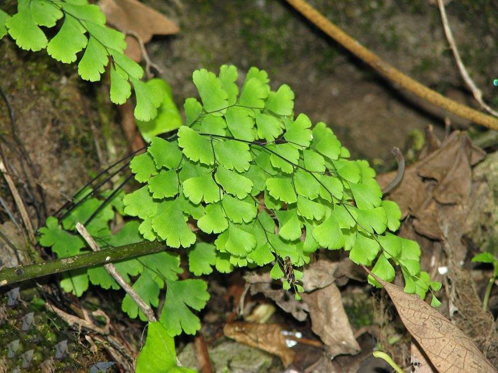 铁线蕨的生长习性和养护要点