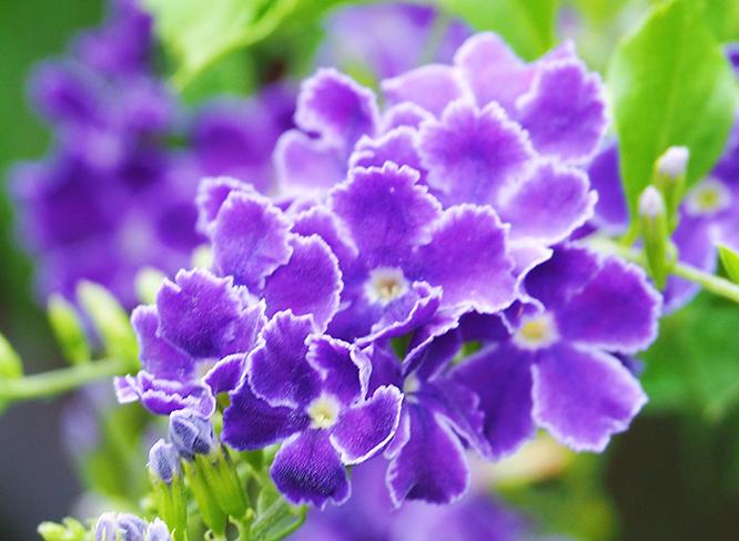 蕾丝金露花的生长习性和养护要点