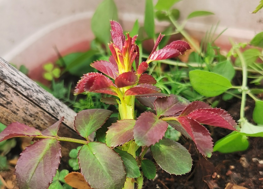 月季的芽发红说明了什么?