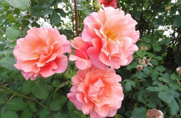 想让藤本月季秋天多开花?这样做花开多一倍!