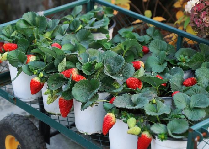 草莓家庭种植注意事项