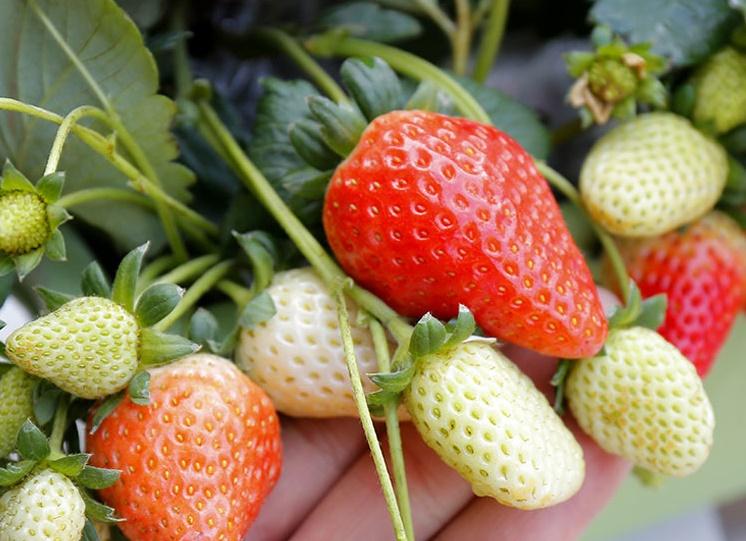 草莓的栽培养护攻略