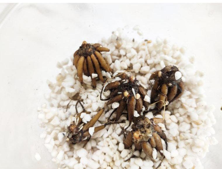 花毛茛如何种植催芽?