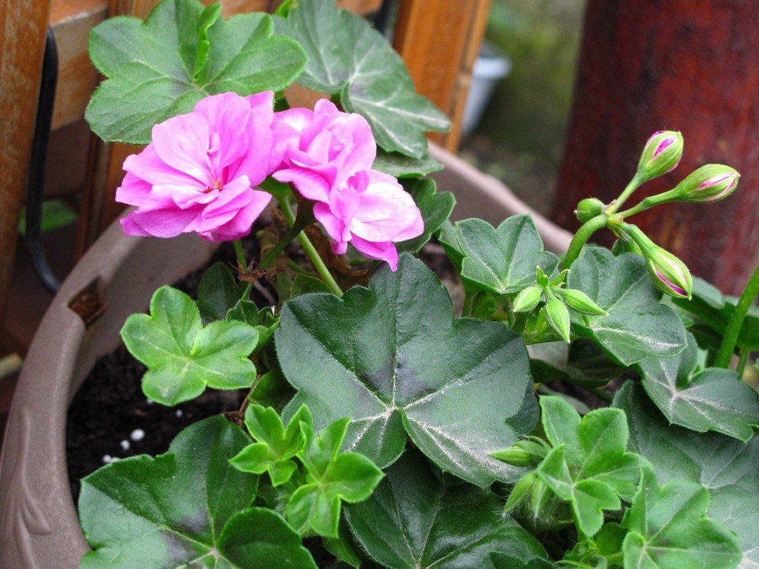 天竺葵常见黄叶原因及解决方法
